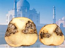 Картофель из Индии